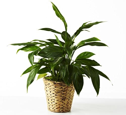 Květináč Fridfull z vodního hyacintu, jehož využití chrání životní prostředí tropických oblastí (IKEA, 79 Kč)